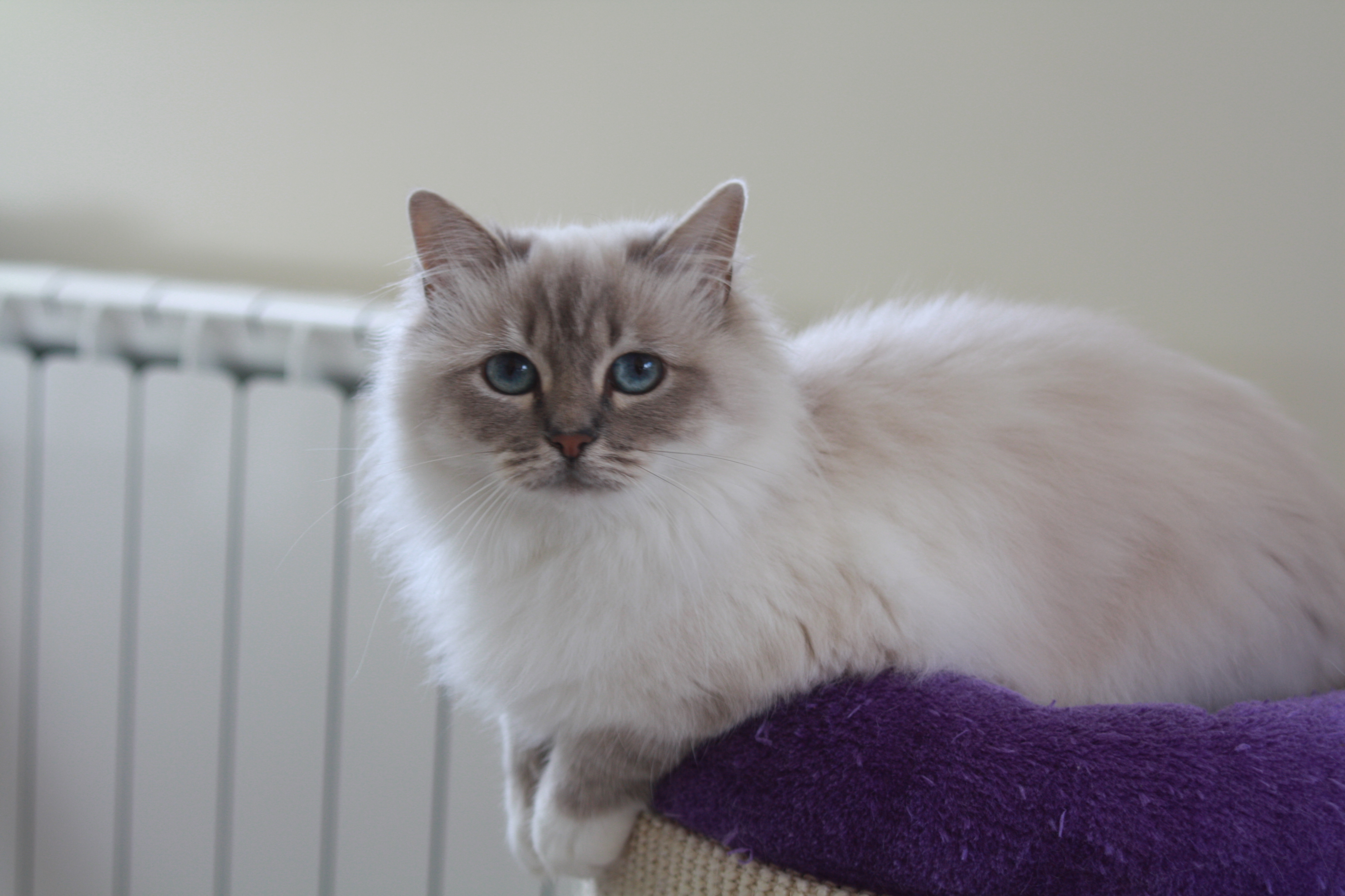 M Birman Cia S.a.i.c Les couleurs du chat s...