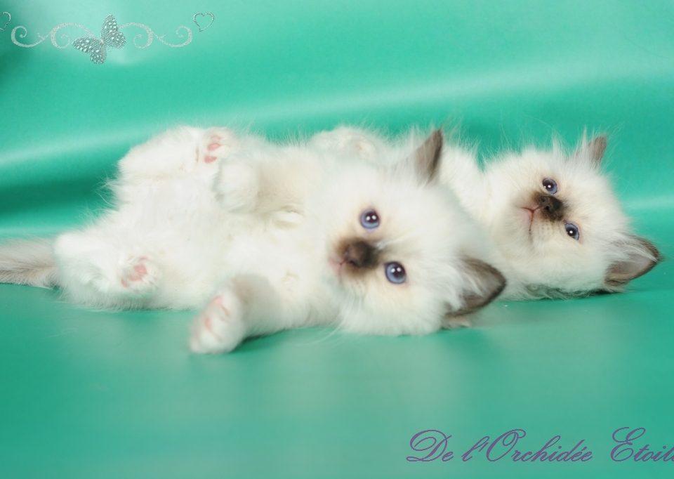 Lady Bella  & Lily Pop à 8 semaines (réservées)