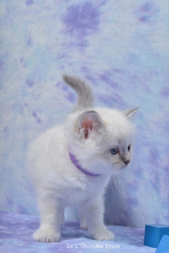 5 semaines Jezabelle (collier Violet)